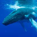 日本の捕鯨禁止の謎  ― 本当の狙いは捕鯨ではない!?