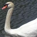 皇居のお堀の白鳥の中に1羽だけ「ロボット白鳥」が紛れ込んでいる? 噂の真相!