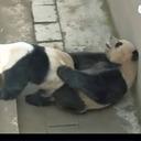"""なんと背面座位まで! 発情期を迎えたパンダが繰り広げる""""性技""""を実況中継=中国"""