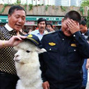 中国株暴落でとばっちり!? 街頭でアルパカを叩き売る投資家が出現「株で失敗。300万円で神獣売ります」