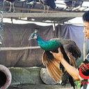 """「緑色は一級保護動物だけど、青色ならOK!?」中国で""""食用クジャク""""飼育場が大盛況!"""