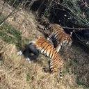 松島トモ子仰天! トラ襲撃による死亡事故続発も、動物園の入場者は倍増?