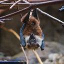 ブラジル農村部が大パニック! 吸血コウモリの襲撃で40人が狂犬病感染の疑い、うち1人死亡
