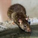 乳児が手足をかじられ、瀕死の状態に! 中国で「人喰いネズミ」による感染症が急増中