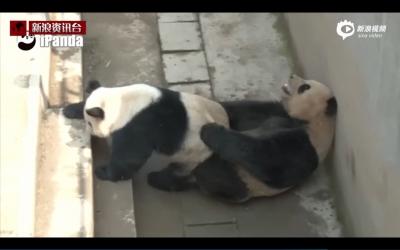 パンダを絶滅から救え! 米有名ポルノ女優が「パンダ用AV」で一肌脱ぐの画像4