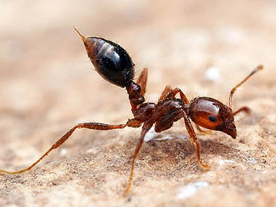 散歩中に大群に襲われる事件も! 日本上陸「猛毒ヒアリ」……中国で爆発的に繁殖していたの画像1