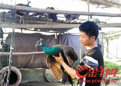 「緑色は一級保護動物だけど、青色ならOK!?」中国で食用クジャク飼育場が大盛況!の画像1
