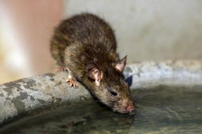 乳児が手足をかじられ、瀕死の状態に! 中国で「人喰いネズミ」による感染症が急増中の画像1