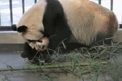 10年間で5頭が変死!? 獣医不足、不衛生な上海野生動物園はパンダの墓場か?の画像1