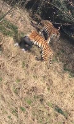 松島トモ子も仰天! トラ襲撃による死亡事故続発も、動物園の入場者は倍増?の画像1