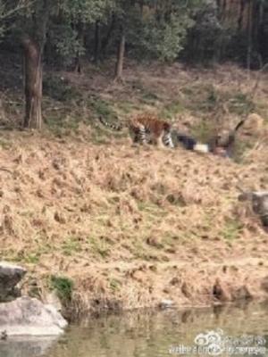 松島トモ子も仰天! トラ襲撃による死亡事故続発も、動物園の入場者は倍増?の画像2